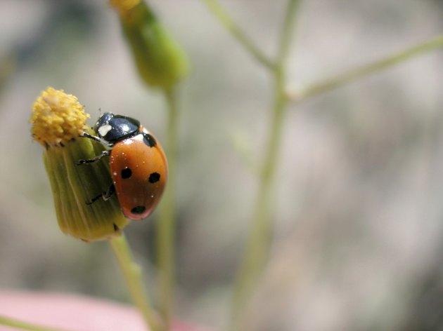 Ladybug on a flower bud