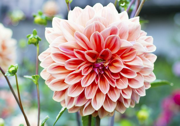 Dahlia flower growing in the garden.