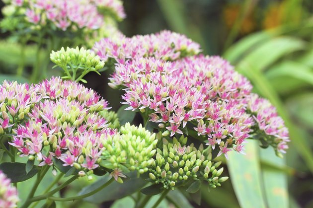 Sedum flowers closeup