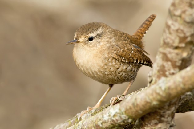 How to Attract Wrens to a Garden