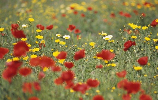 Wild spring flowers, Poppies & Daisies, Cyprus