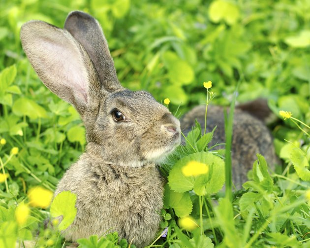 Gray rabbit lay on the grass