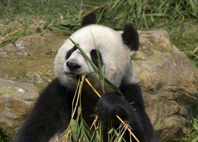 Giant panda eating bamboo leaf