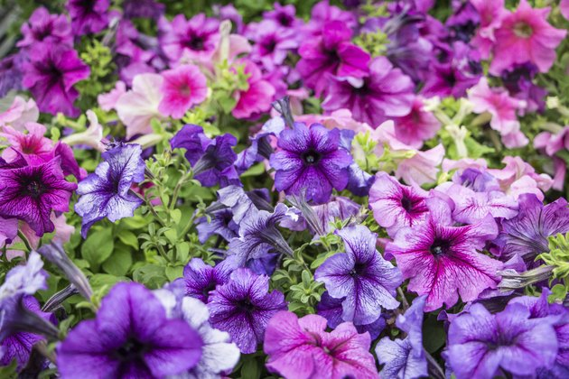 Colorful Cluster of Petunias