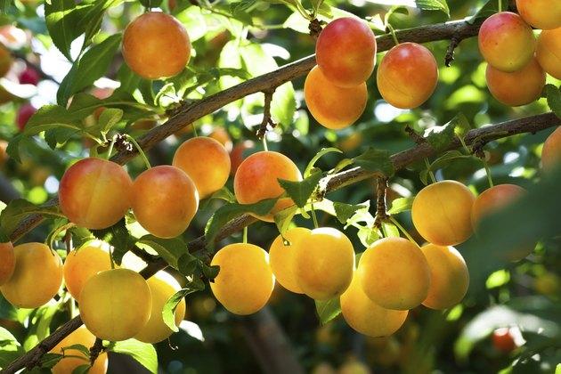 Fresh Peach on a Tree