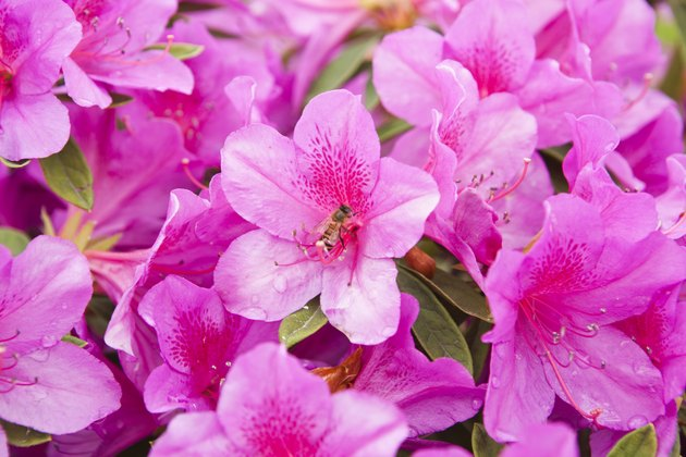blooming pink azalea and honeybee