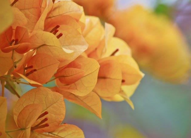 orange  bougainvillea flower in garden