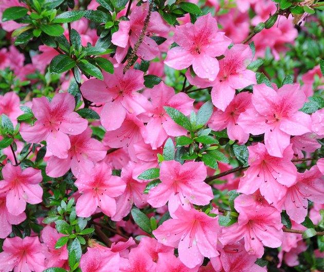 Pink wet Azaleas flowers with rain drops