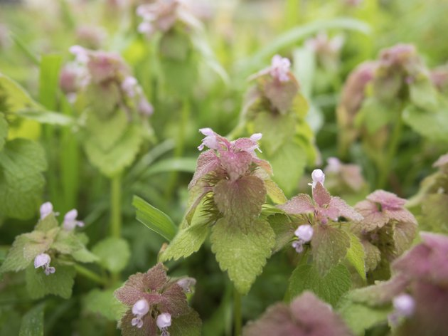 Lamium purpureum growing in colonies