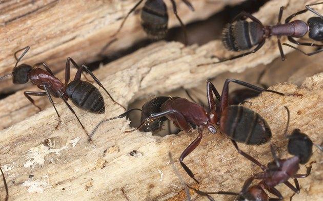 """""""Carpenter ants, Camponotus herculeanus"""""""