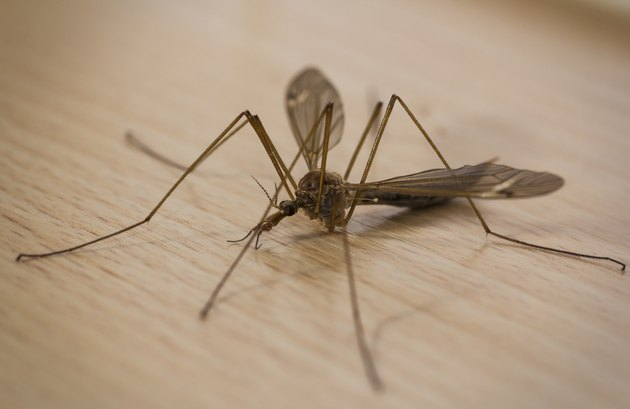 Cranefly on kitchen counter