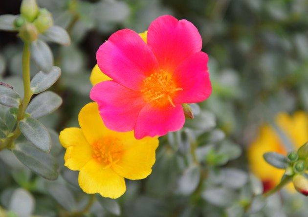 Close up of moss roses in various colors.