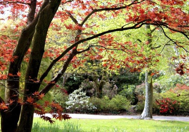 Image of red Japanese maple tree leaves (acer palmatum 'atropurpureum')