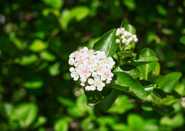 Branch of  chokeberry flowers in the  spring