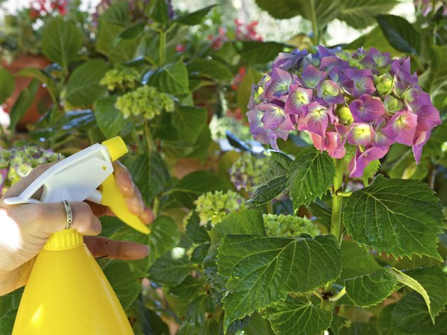 watering  hydrangea with a spray