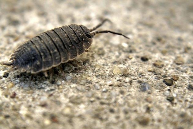 Pillbug - Armadillidiidae