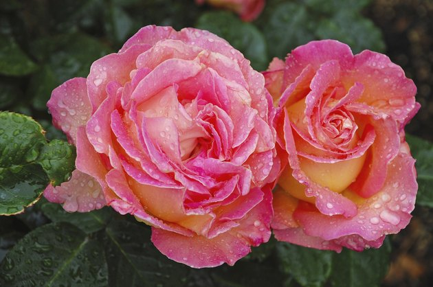 Two beautiful pink roses