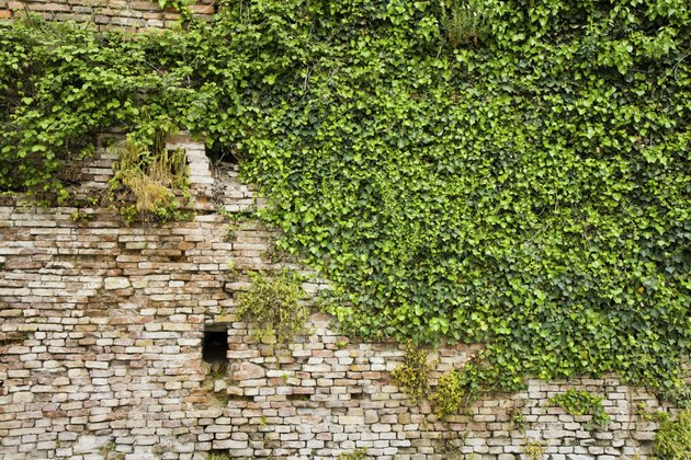 Old brick wall covered in ivy