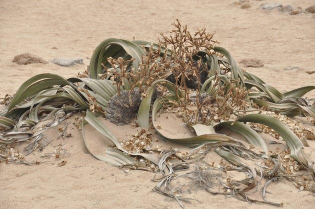 Welwitschia mirabilis plant living fossile namibian dessert