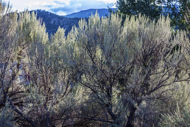 Gray-Green Sagebrush in Afternoon Light