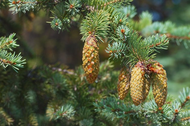 Spruce branches with cones close-up
