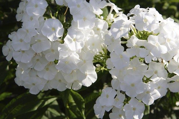 white phlox
