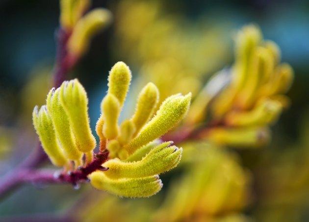 Kangaroo Paw flower - blurred background