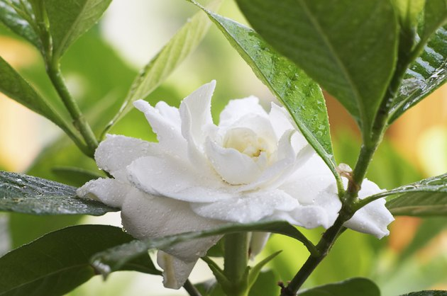 Wet Gardenia