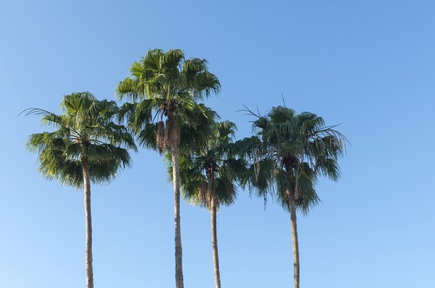 Fan palm trees