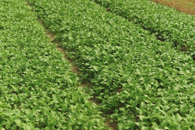 leaf mustard plantation