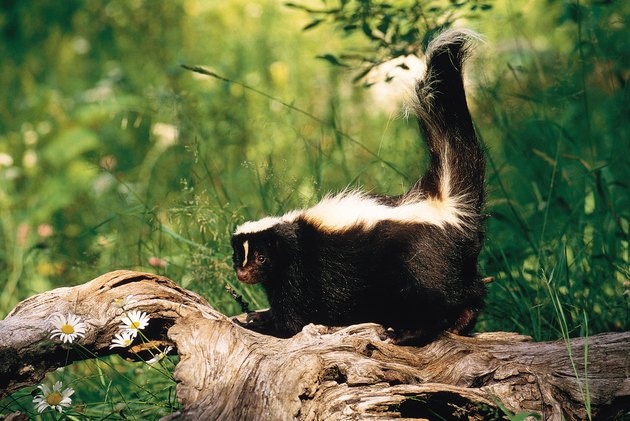 What Would Kill a Skunk in My Yard?
