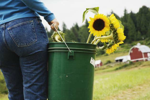 Woman carrying bucket of sunflowers on farm