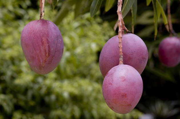 How to Grow Mango Trees in Pots