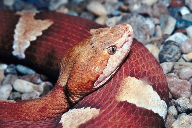 Copperheads: What to Do If in the Yard
