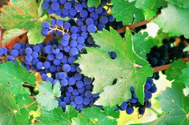 USA, California, Napa Valley, Close-up of grape wines