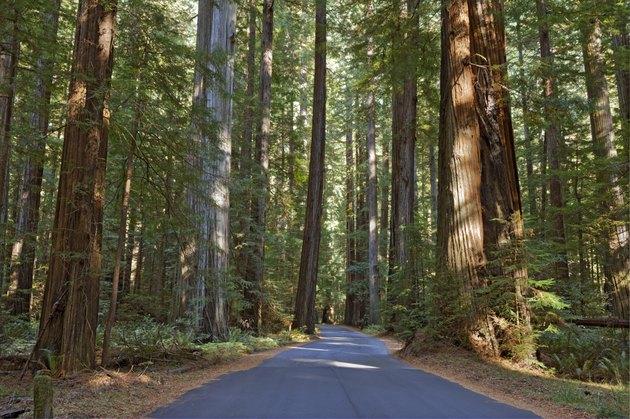 Road running through a redwood grove in California