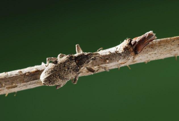 weevil beetle on twig