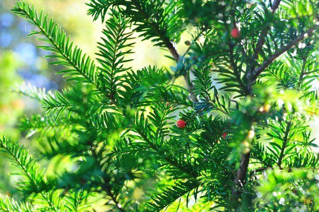 Background of coniferous branches with berries