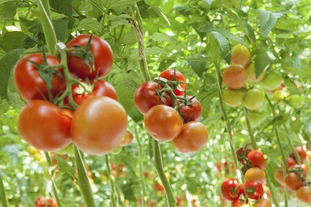 How to Grow Tomatoes in 5-Gallon Buckets
