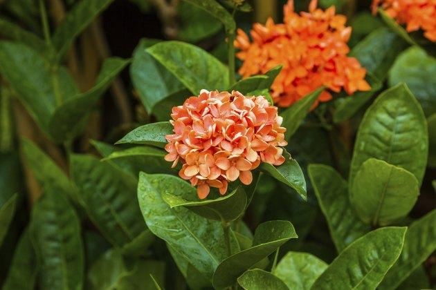 Little orange flowers of rubiaceae tree.