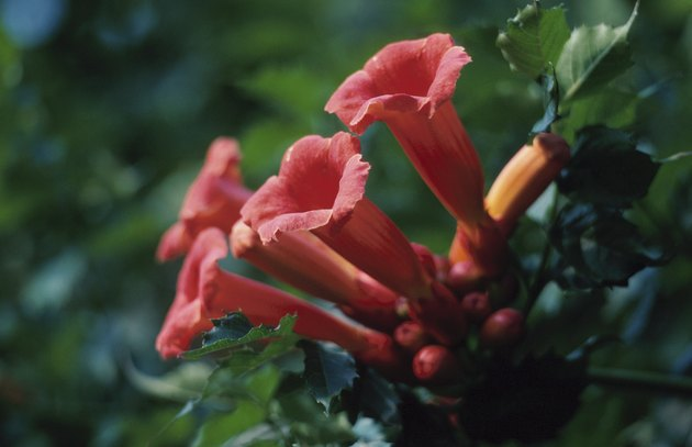Close-up of red trumpet vine