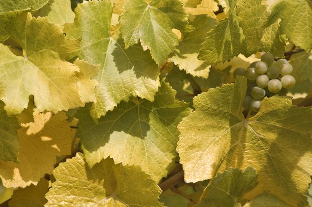 USA, Oregon, Willamette Valley, Close-up of grapes with leaves on branch
