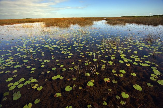 Marshland with lily pads in the Florida Everglades