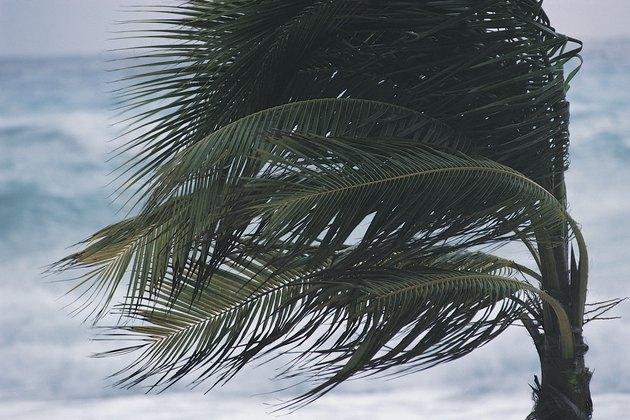 Windblown palm tree