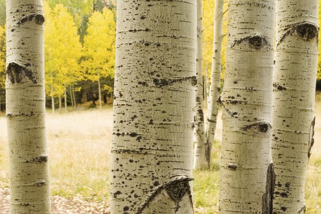 aspen tree trunks with eyes