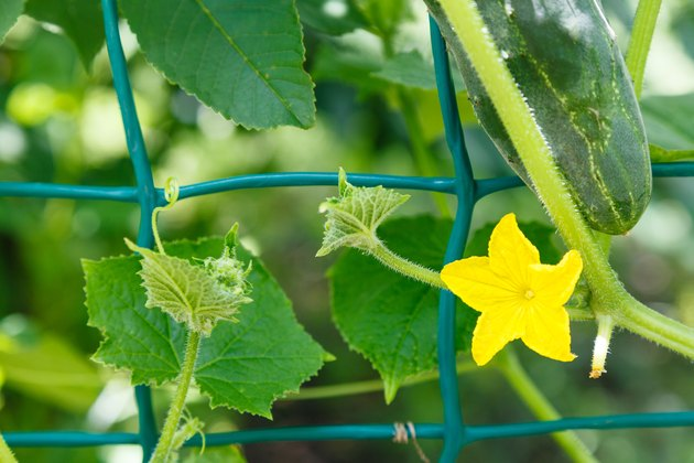 yellow flower and ripe cucumber close up in garden