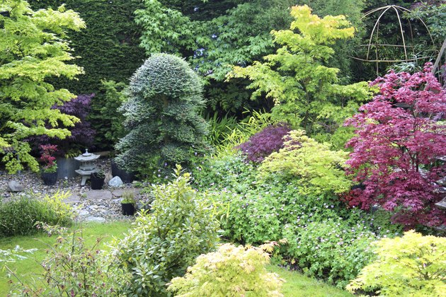 Image of ornamental garden with Japanese maples and clipped holly