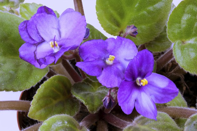 Closeup of Blue African Violet Flowers and Green Leaves