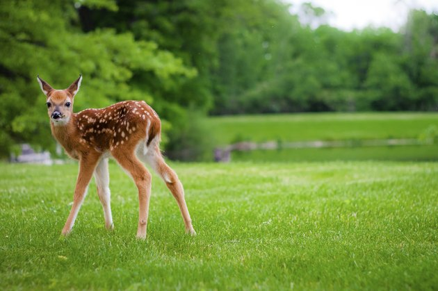 Baby Deer on the Lawn