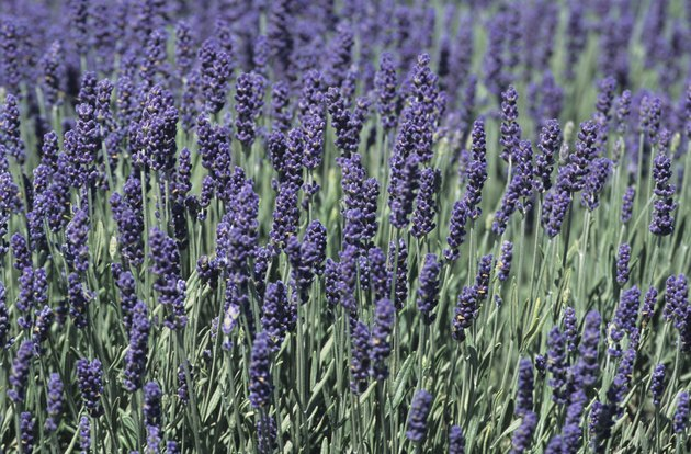 Lavender field in bloom, late Spring